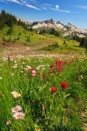 Summer alpine wild flower meadow,Mount Rainier National Park,Washington,USA LANG_EVOIMAGES