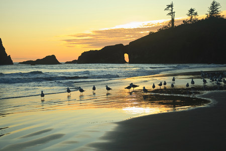 wa: Seagulls on Second Beach at sunset near La Push,Olympic National Park,Washington,USA