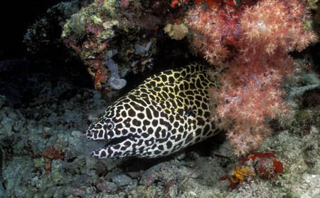 Blackspotted or laced moray eel LANG_EVOIMAGES