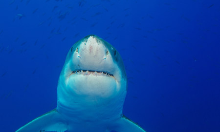 guadalupe island: Great white shark LANG_EVOIMAGES