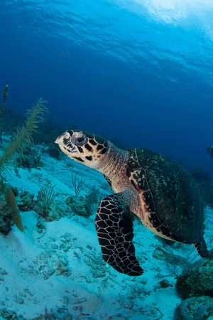 Swimming Hawksbill turtle LANG_EVOIMAGES