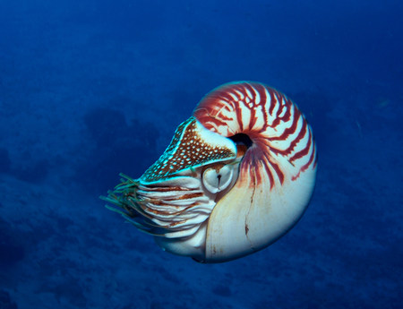 Nuova Guinea: Nuoto di Nautilus di Chambered