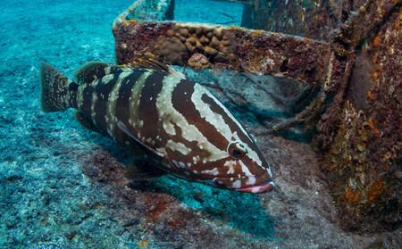 gorgonian sea fan: Nassau grouper on shipwreck