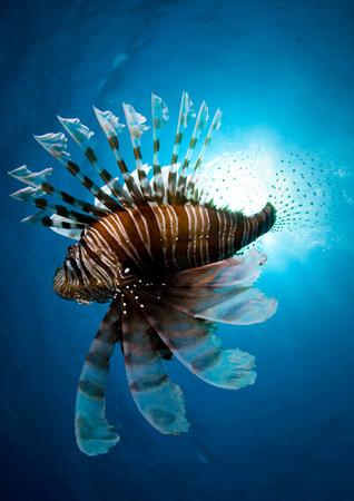scorpionfish: Lion fish swimming underwater