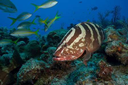 perciformes: Nassau grouper on a coral reef