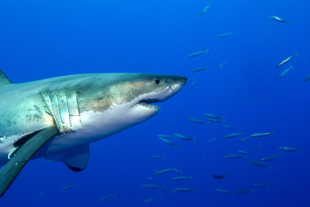 Great white shark LANG_EVOIMAGES