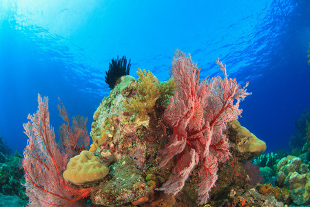 Sea fans on coral reef LANG_EVOIMAGES
