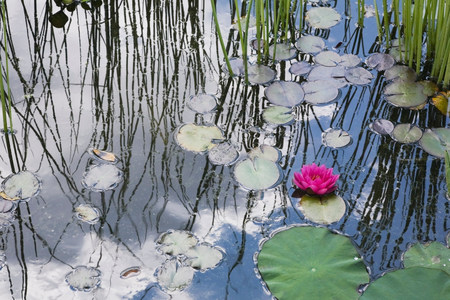 Water lilies floating in pond LANG_EVOIMAGES
