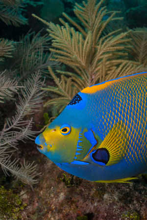 gorgonian sea fan: Queen angelfish and octocoral