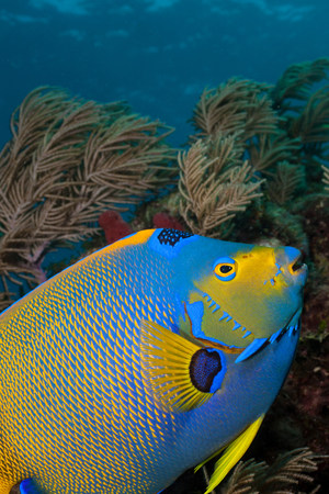 Queen angelfish and octocoral