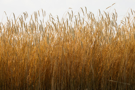 farmyards: Field of tall wheat LANG_EVOIMAGES