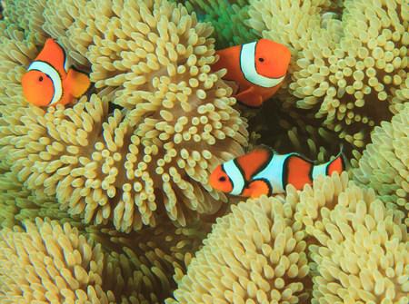 Anemonefish swimming in anemone