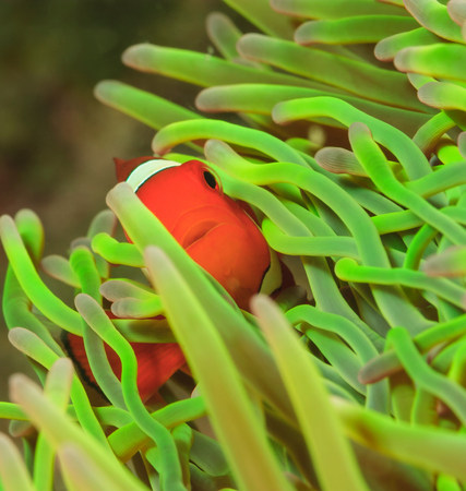 Clownfish swimming in sea anemone