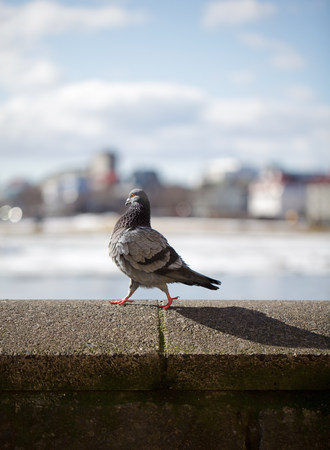 Pigeon walking on urban wall