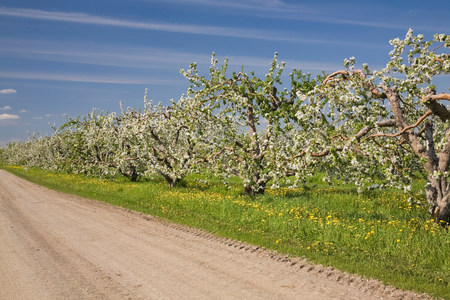 Flowering trees on dirt road