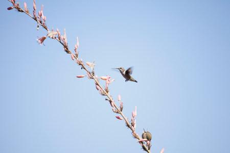 Hummingbird alimentando desde el árbol en flor LANG_EVOIMAGES