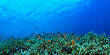 hard coral: Fish swimming in coral reef