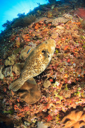 Puffer fish swimming in coral reef