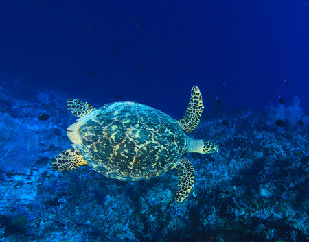 Sea turtle swimming in coral reef