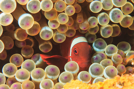 quizzical: Anemonefish swimming in sea anemone