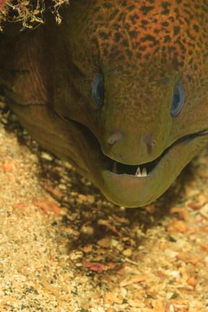 undulatus: Close up of moral eels face