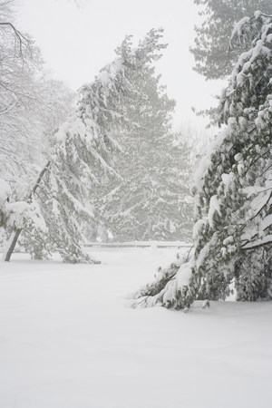 wintry weather: Snow covered trees in park
