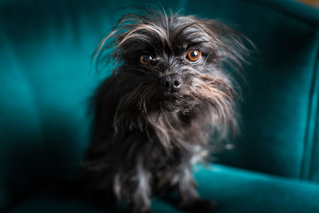 Portrait of small dog sitting on turquoise chair