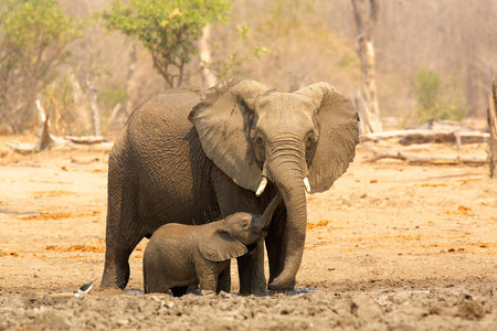Elephant,Loxodonta africana,and calf