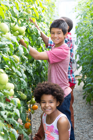 Children picking fresh tomatoes