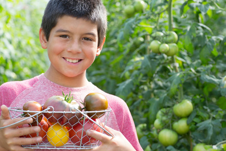 casual clothing 12 year old: Boy picking fresh tomatoes