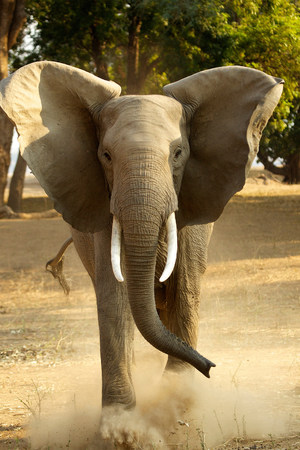 African elephant,Loxodonta Africana,kicking dust,front view