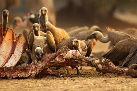 karkas: Witgehakte aasvoeren, Gyps African, Voeding op buffelkarkas