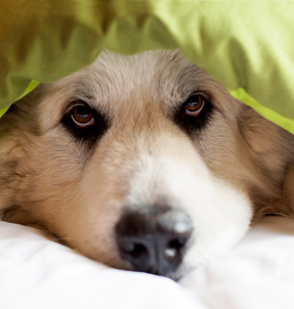 fedup: Domestic dog hiding under duvet