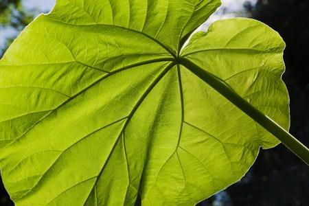 Backlit close up of large green leaf