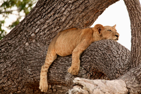 Lion cub sleeping in tree,Selous National Park,Tanzania,Africa