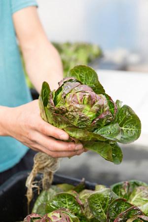 Man holding fresh lettuce