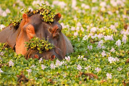 zimbabwe: Hipopótamo cubierto de plantas en abrevadero, Parque Nacional Mana Pools Zimbabwe, África