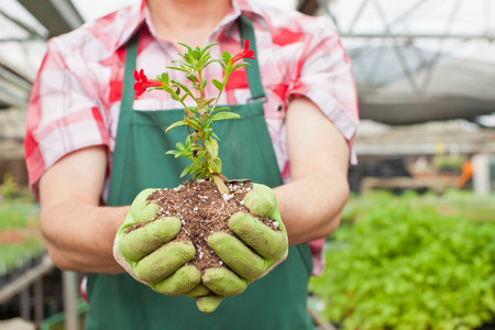 Mature man holding plant in soil in garden centre,close up