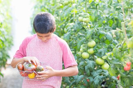 12 13 years: Boy picking fresh tomatoes