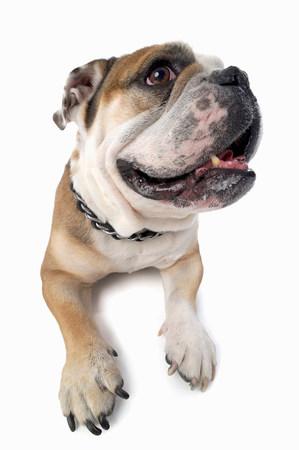 fedup: Studio portrait of distracted english bulldog