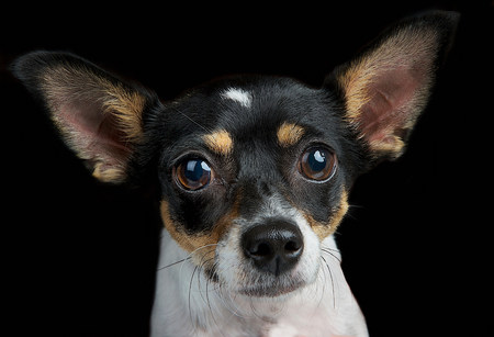 Studio portrait of toy terrier
