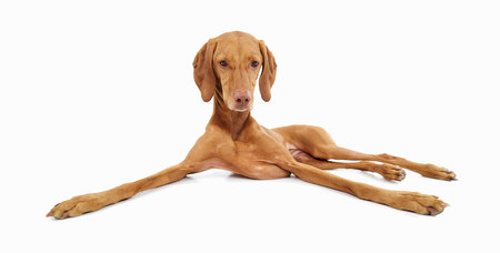 pooches: Studio portrait of relaxed vizsla dog