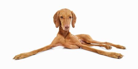 Studio Portrait von entspannten Vizsla Hund