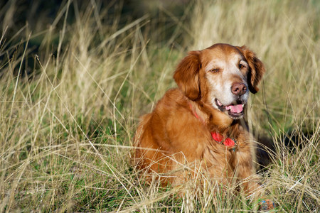 Portrait of golden retriever resting in long grass