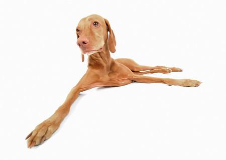 Studio portrait of vizsla dog lying down LANG_EVOIMAGES