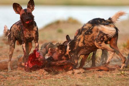 zimbabwe: Perros salvajes africanos comen canal, Parque Nacional Mana Pools, Zimbabwe, África LANG_EVOIMAGES