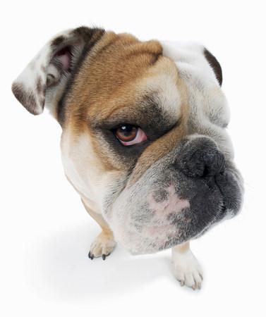 desconfianza: Studio portrait of english bulldog looking suspiciously LANG_EVOIMAGES