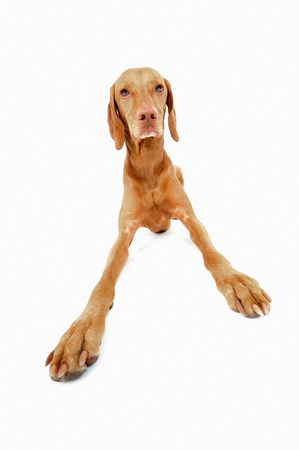 pooches: Studio portrait of vizsla dog getting up LANG_EVOIMAGES