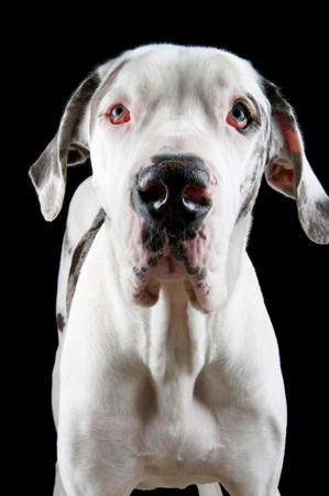 Studio portrait of great dane