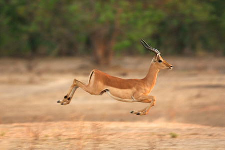 tiefe: Impala läuft, Mana Pools National Park, Simbabwe, Afrika